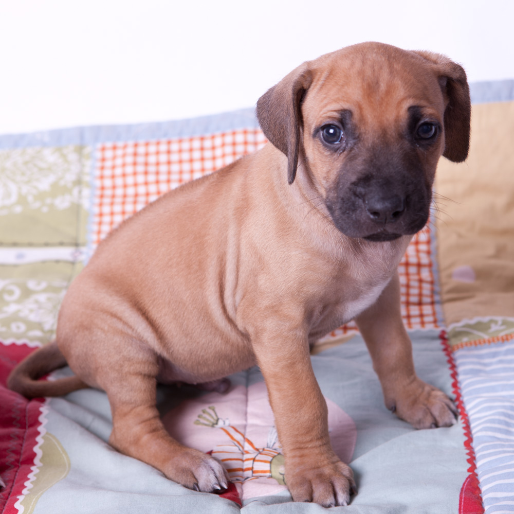 rhodesian ridgeback puppies for sale august 25 2011 puppies for sale ...