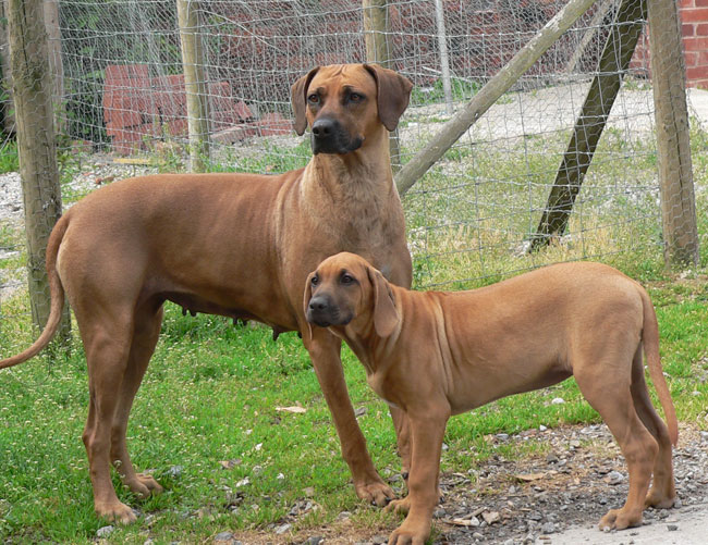 Indiana with Rhodesian Ridgeback Pup
