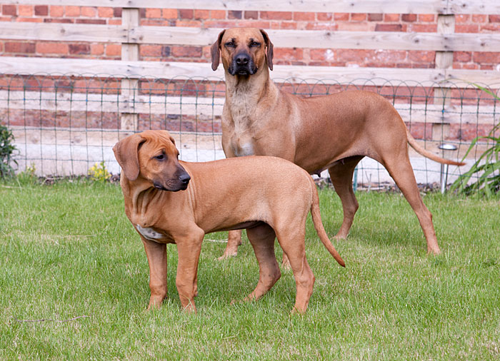Indiana and Xena Together Ridgebacks