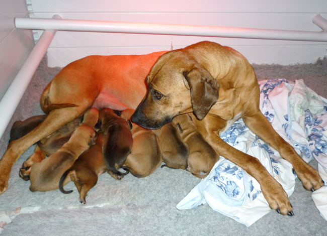 Indy with Ridgeback Puppies