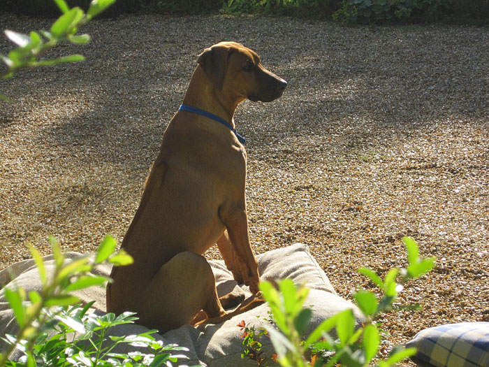 Makeda Rhodesian Ridgeback Dog