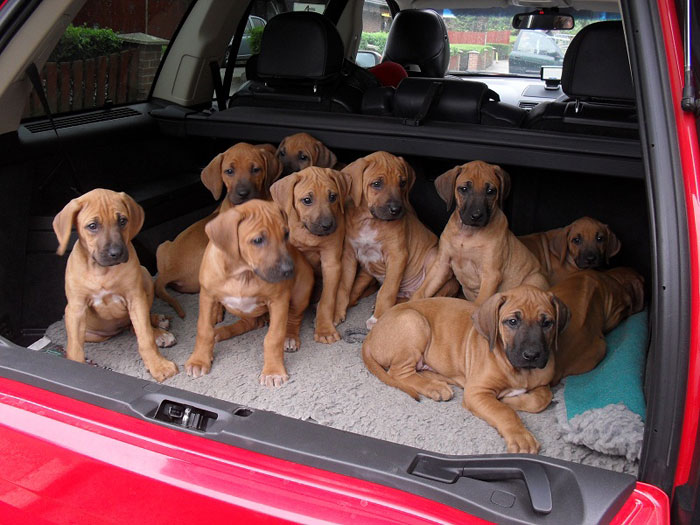 Ridgeback puppies in car
